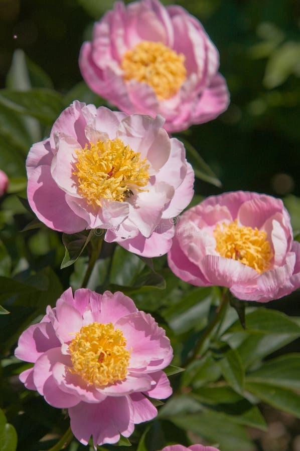 Paeonia lactiflora rosa Gleam of Light fotos de stock