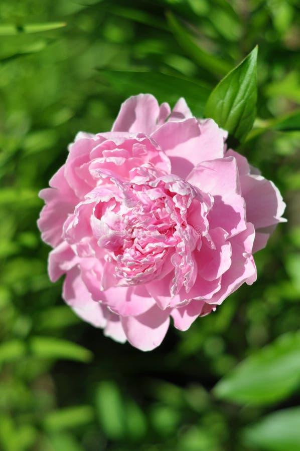 Paeonia lactiflora `Sarah Bernhardt` royalty free stock images
