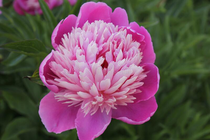 Paeonia officinalis. Macro photo of a pink flower.  royalty free stock images