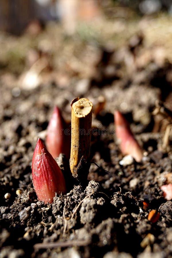 Paeonia - perenn växt royaltyfria foton