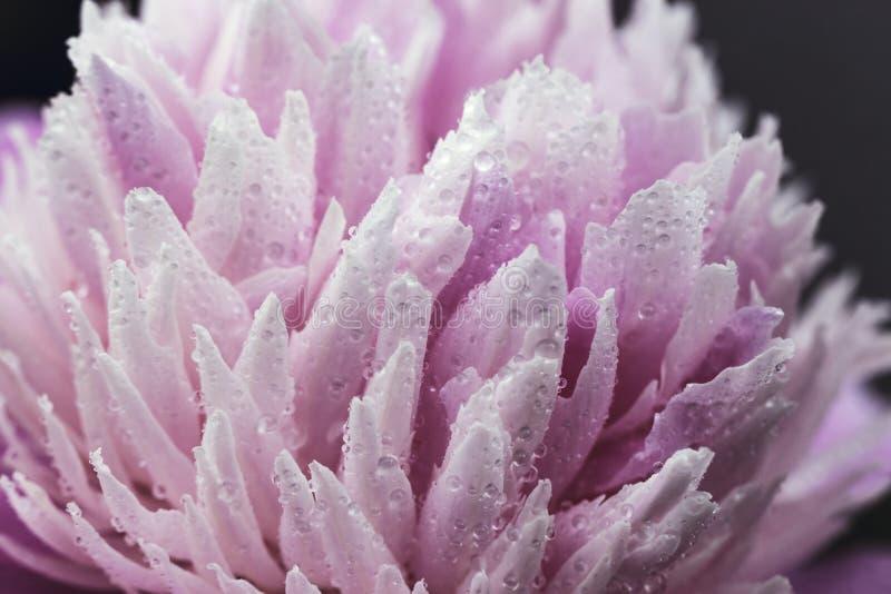 Paeonia Sarah Bernhardt, Paeonia-lactiflora met dauwdaling Paeonia Monsieur Jules Elie Dubbele roze pioenbloem Paeonia stock foto