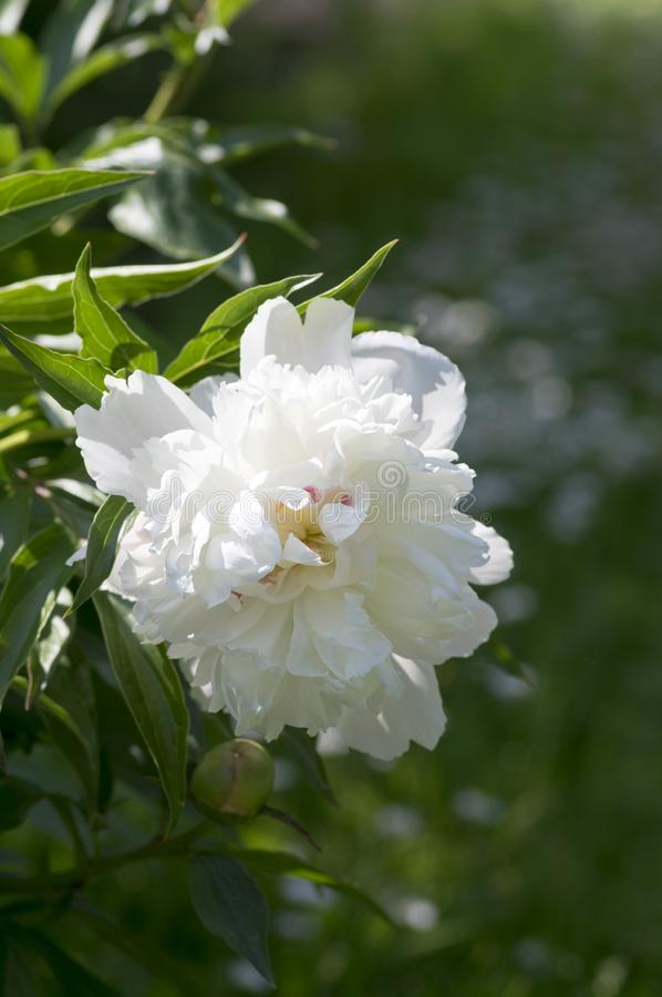 Paeonia suffruticosa in bloom with double flowers, green shrub with white flower petals stock photography