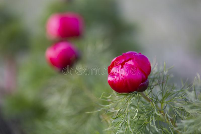 Paeonia tenuifolia, wildflower meadow mountain flower in may stock images
