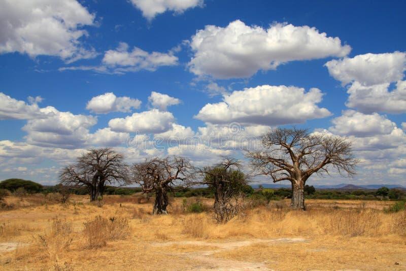 Paesaggio africano con gli alberi del baobab fotografia stock libera da diritti