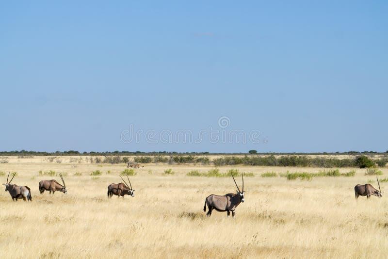 Paesaggio africano del pascolo dorato con l'orice e la zebra fotografia stock