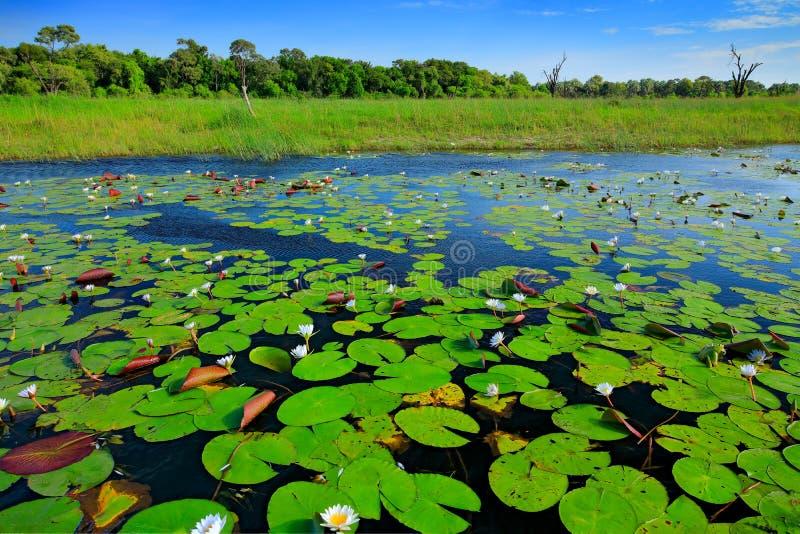 Paesaggio africano, ninfea con le foglie verdi sulla superficie con cielo blu, delta di Okavango, Moremi, Botswana dell'acqua Fiu fotografia stock libera da diritti
