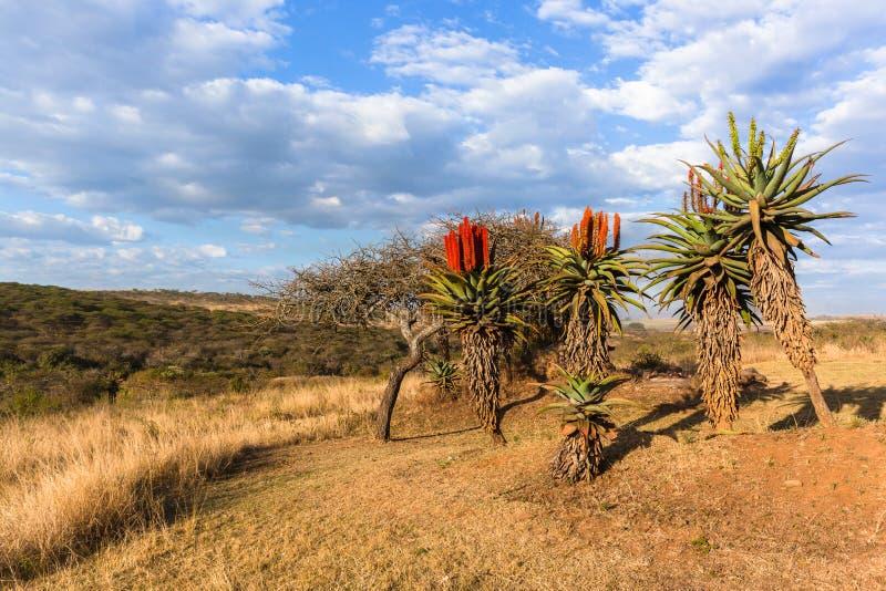 Paesaggio africano scenico delle piante dell'aloe fotografie stock libere da diritti