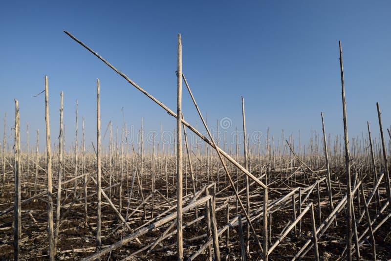 Paesaggio agricolo Campo abbandonato dei gambi asciutti del girasole nel giorno soleggiato fotografie stock