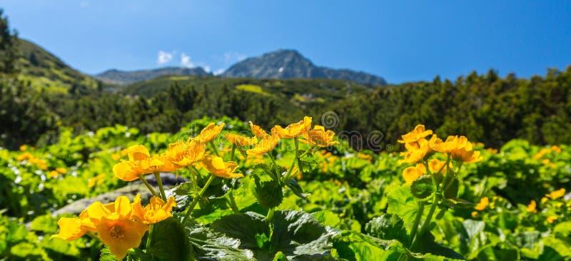 Fiori Alpini Gialli.Paesaggio Alpino Di Estate Nelle Alpi Di Transylvanian Con I