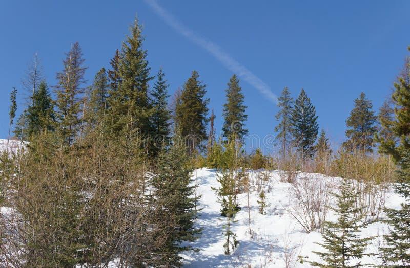Paesaggio in anticipo della molla con la giovane foresta con neve di fusione ed al giorno soleggiato luminoso con cielo blu fotografia stock libera da diritti