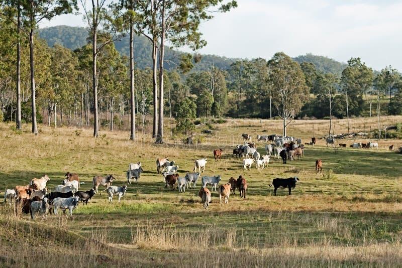 Paesaggio australiano del paese del bestiame del eucalypt immagine stock libera da diritti