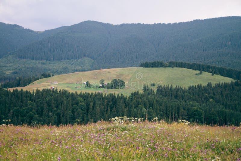 Paesaggio carpatico Campo, fiori, vacanza della montagna fotografia stock