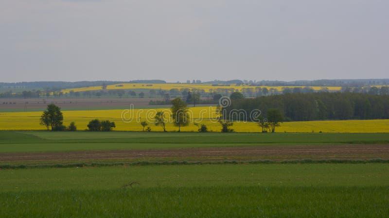 Paesaggio con gli alberi ed i giacimenti del canola fotografia stock libera da diritti
