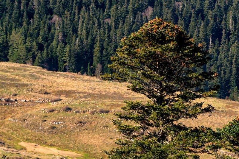Paesaggio con gli alberi nella foresta della montagna in autunno immagini stock libere da diritti