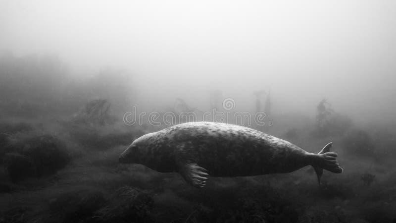 Paesaggio con Grey Seal Immersione subacquea, isole di Farne fotografia stock libera da diritti