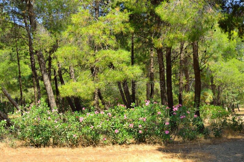 Paesaggio con i pini, Grecia di estate fotografie stock libere da diritti