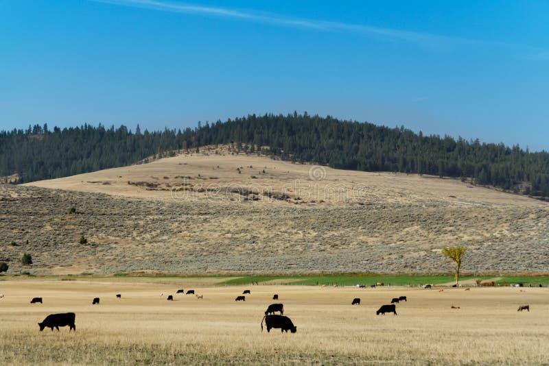 Paesaggio con la mandria di mucche, Montana immagini stock libere da diritti