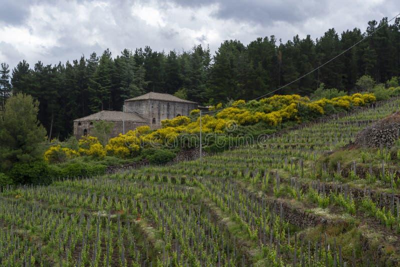 Paesaggio con la regione verde del vulcano di Etna delle vigne con suolo ricco minerale sulla Sicilia, Italia fotografie stock libere da diritti