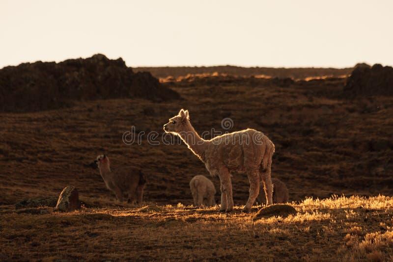 Paesaggio con un'alpaga nel Perù fotografie stock