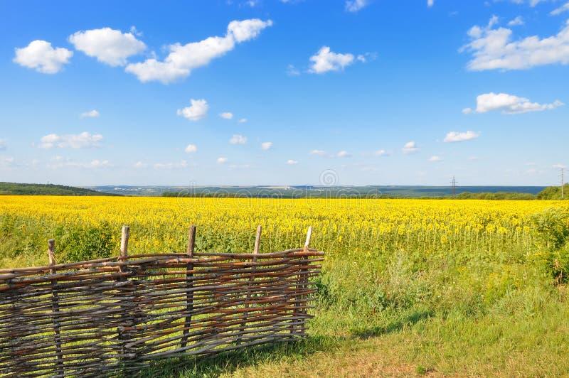 Download Paesaggio Con Un Campo Dei Girasoli Fotografia Stock - Immagine di terra, closeup: 56875406