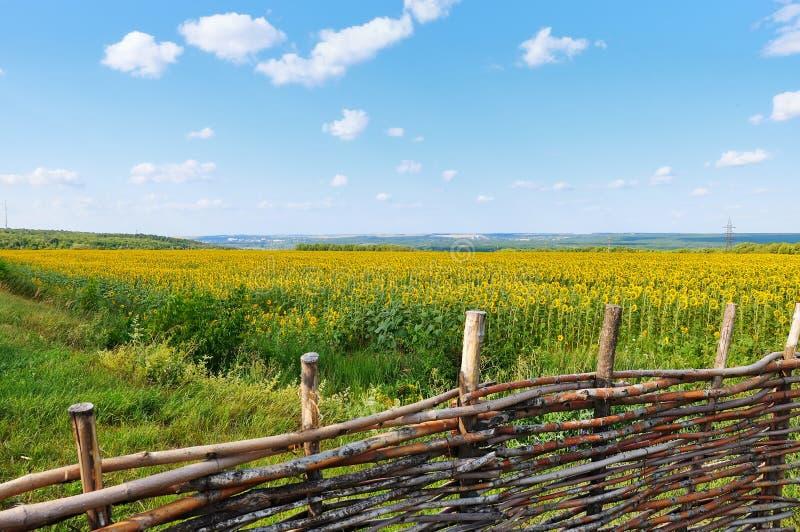 Download Paesaggio Con Un Campo Dei Girasoli Immagine Stock - Immagine di crop, campo: 56875439