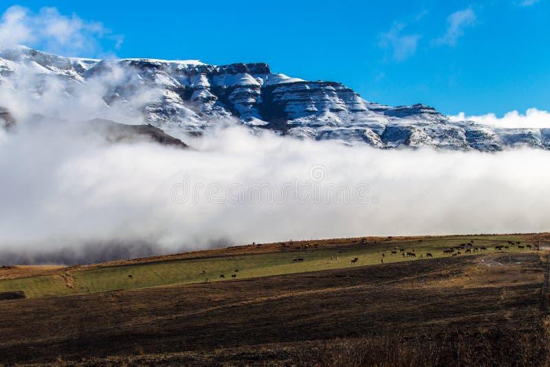 Paesaggio contrapposto bestiame della montagna della neve fotografie stock
