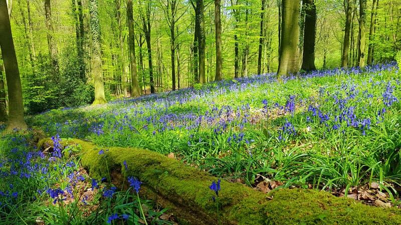 Paesaggio da una foresta speciale, con un tappeto dei fiori blu fotografia stock libera da diritti