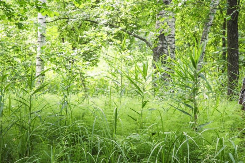 Paesaggio defocused naturale con i boschetti di erba verde fresca spessa sui precedenti degli alberi di betulla un giorno di esta fotografia stock