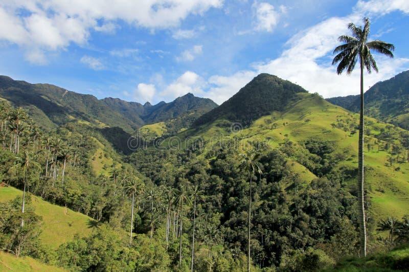 Paesaggio degli alberi della palma da cera in valle di Cocora vicino a Salento, Colombia immagine stock