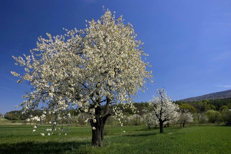Paesaggio degli alberi della sorgente fotografia stock