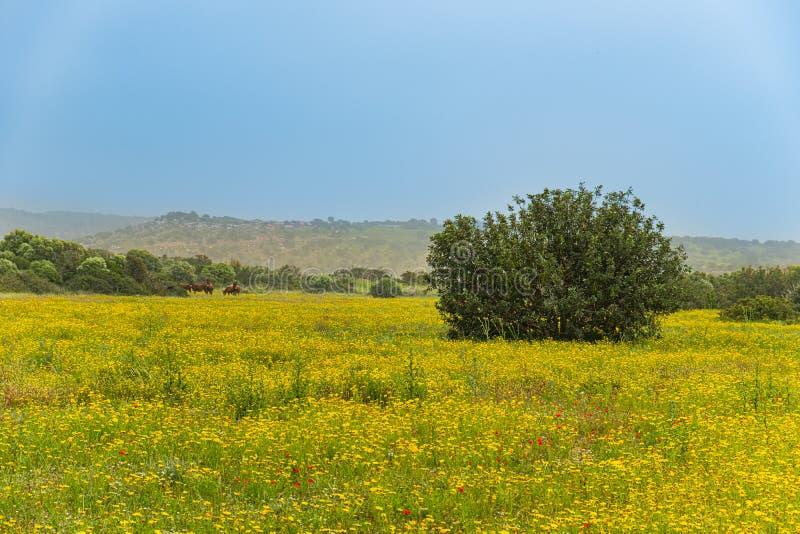 Paesaggio dei giacimenti della primavera di Karpasia Peninsul, Cipro con gli asini selvaggi nei precedenti fotografia stock libera da diritti