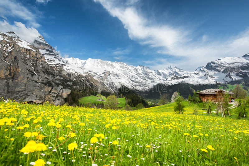 Paesaggio dei giacimenti di fiore gialli in Svizzera fotografie stock