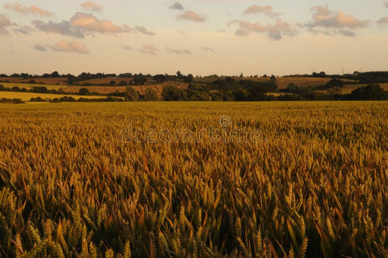 Paesaggio del campo di frumento immagine stock