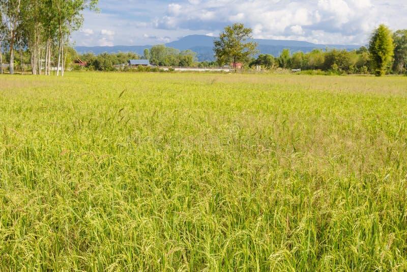 Paesaggio del campo di mais del riso dell'azienda agricola in Tailandia fotografia stock