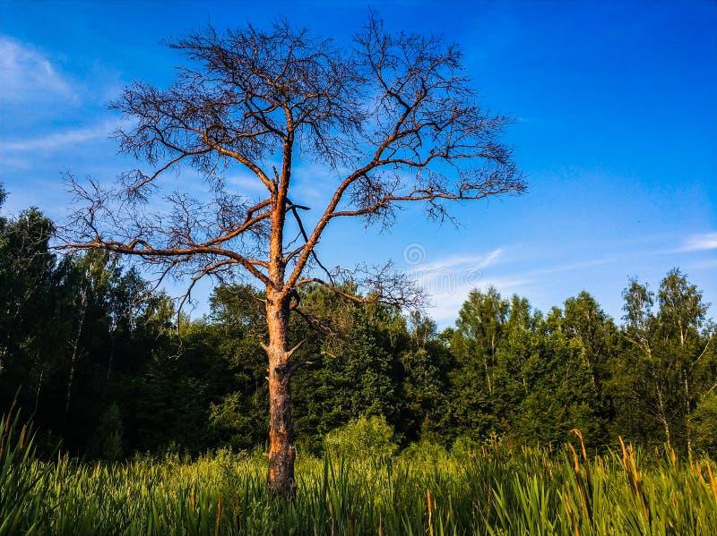 paesaggio del paesaggio dell'albero solo del supporto sul campo di erba fotografie stock