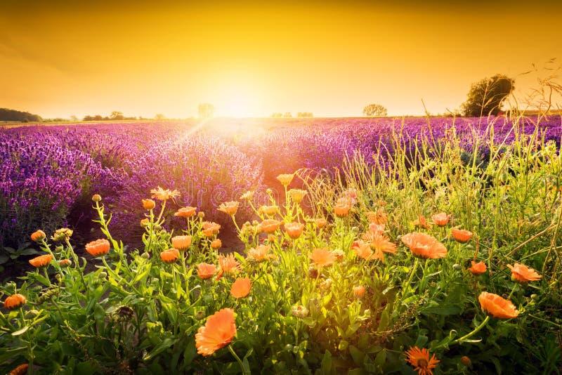 Paesaggio del giacimento di fiore di vendere al tramonto Estate fotografia stock libera da diritti