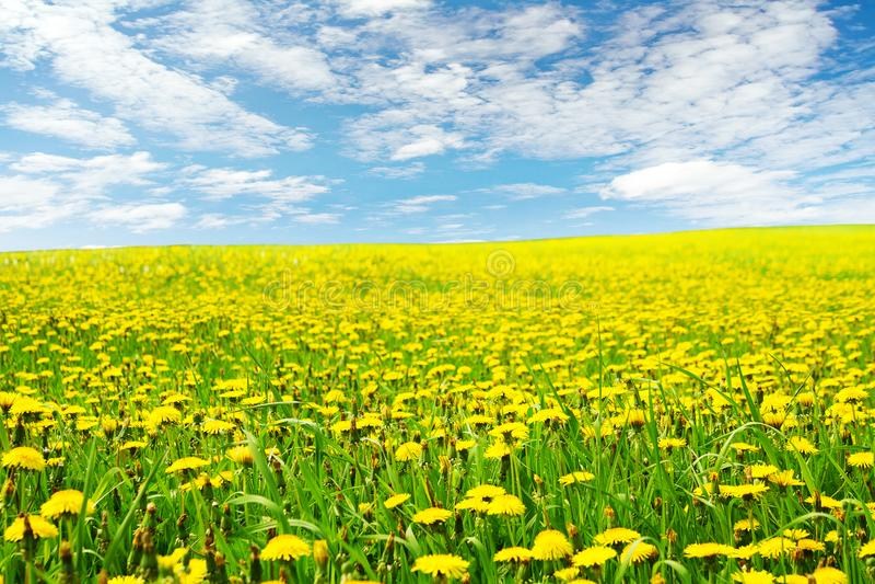 Paesaggio del giacimento di fiori del dente di leone, fiore giallo dei denti di leone immagine stock