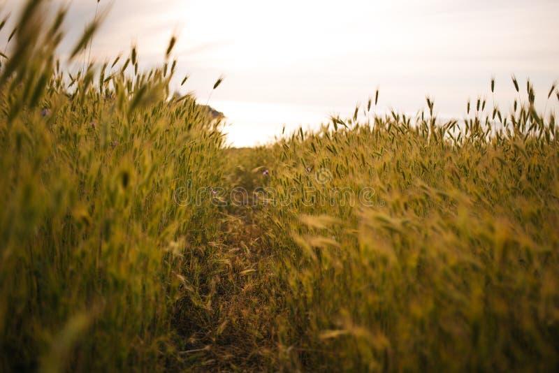 Paesaggio del giacimento di grano con il percorso nel tempo di tramonto copcept del modo, libertà, scelta, armonia immagine stock libera da diritti