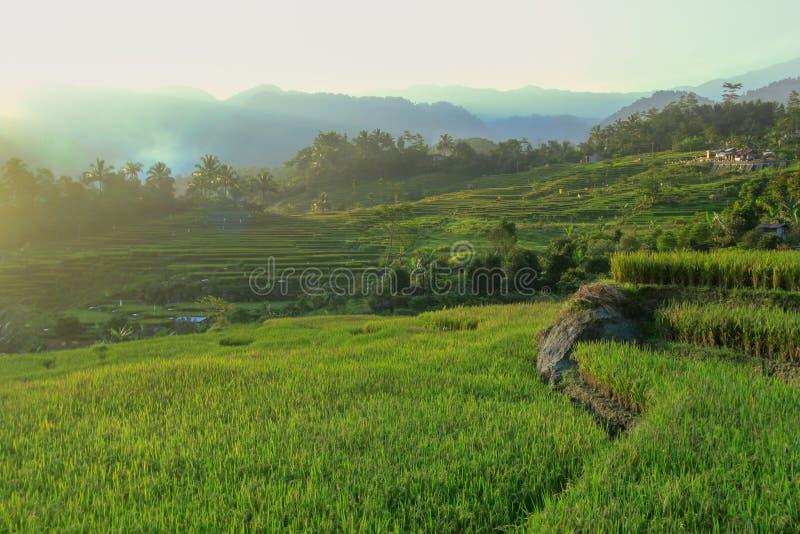 Paesaggio del giacimento del riso fotografia stock
