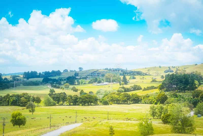 Paesaggio del paese con un gregge delle mucche che pascono in un pascolo verde fertile di erba su un afternooon soleggiato di est fotografia stock