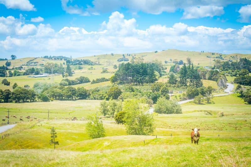 Paesaggio del paese di Idillic con una mucca rossa che guarda diritto nella macchina fotografica da un pascolo verde fertile di e immagini stock libere da diritti