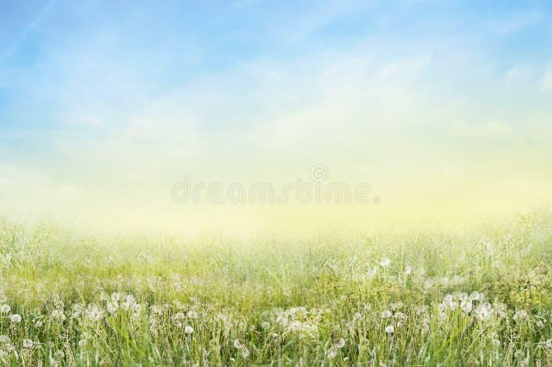 Paesaggio del prato verde con i denti di leone bianchi fotografie stock libere da diritti