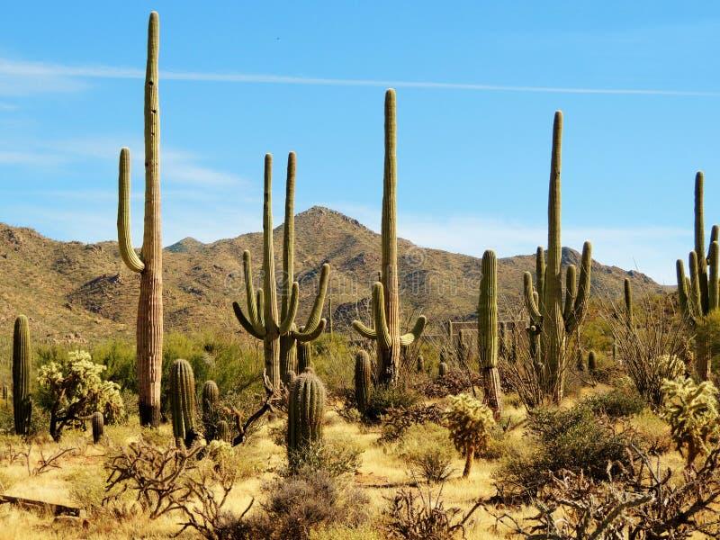 Paesaggio del saguaro immagine stock