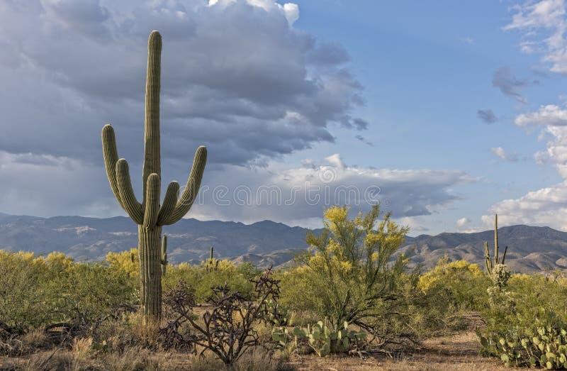 Download Paesaggio del saguaro fotografia stock. Immagine di corsa - 56890162