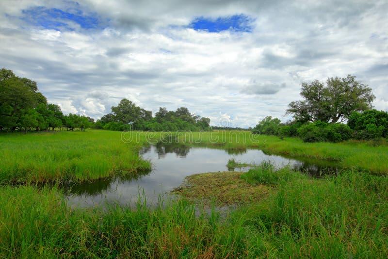 Paesaggio dell'Africa nella stagione verde Fiume di Khwai con erba e gli alberi, Moremi, delta di Okanvango, Botswana, Africa fotografia stock libera da diritti