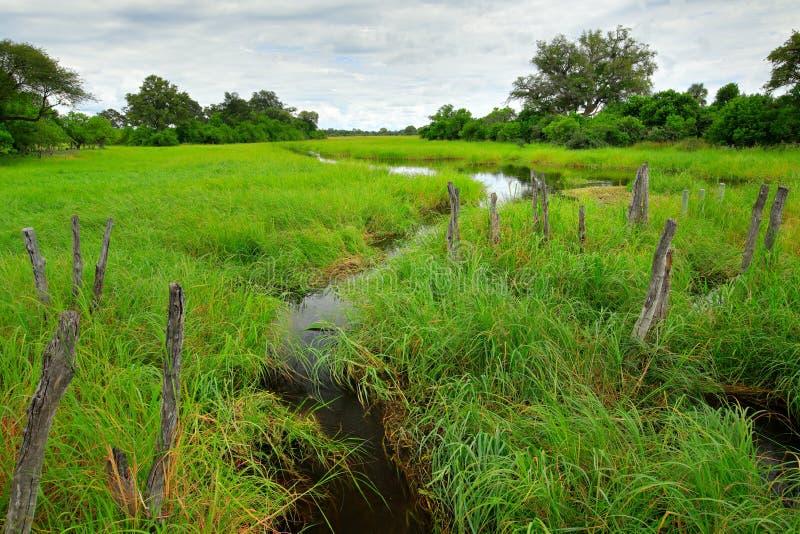 Paesaggio dell'Africa nella stagione verde Fiume di Khwai con erba e gli alberi, Moremi, delta di Okanvango, Botswana, Africa Acq immagini stock libere da diritti