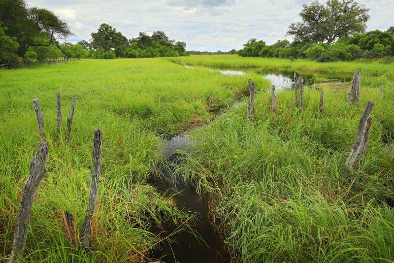 Paesaggio dell'Africa nella stagione verde Fiume di Khwai con erba e gli alberi, Moremi, delta di Okanvango, Botswana, Africa Wi  fotografia stock libera da diritti