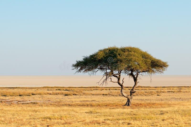 Paesaggio dell'albero della spina - Etosha fotografia stock