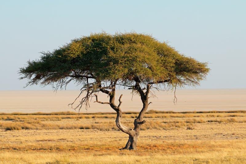 Paesaggio dell'albero della spina - Etosha immagini stock libere da diritti