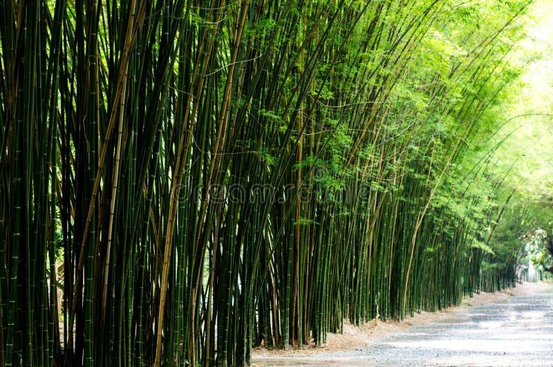 Paesaggio dell'albero di bambù in foresta pluviale tropicale fotografia stock libera da diritti